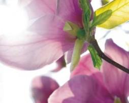 תמונת טפט פרחים ורודים