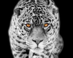 תמונת טפט נמר
