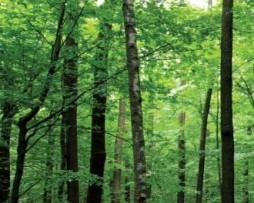 תמונת טפט יער במבוק