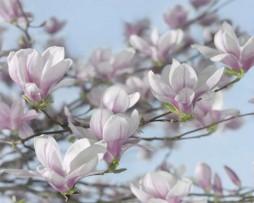 תמונת טפט פרחי מגנוליה
