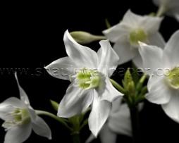 טפט תמונה פרחים לבנים