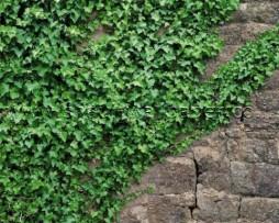 תמונת טפט שיח מטפס בקיר