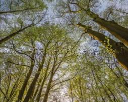 תמונת טפט צמרות העצים