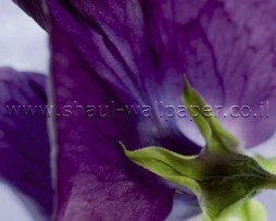 תמונת טפט לקיר פרח סגול