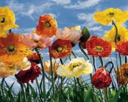 טפט תמונה פרחים צבעוניים